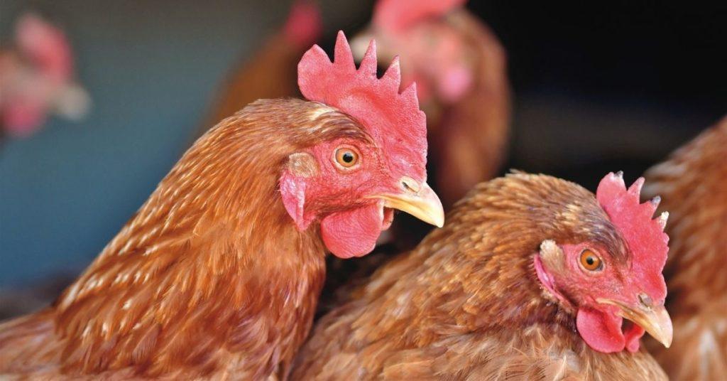 cepa de la gripe aviar