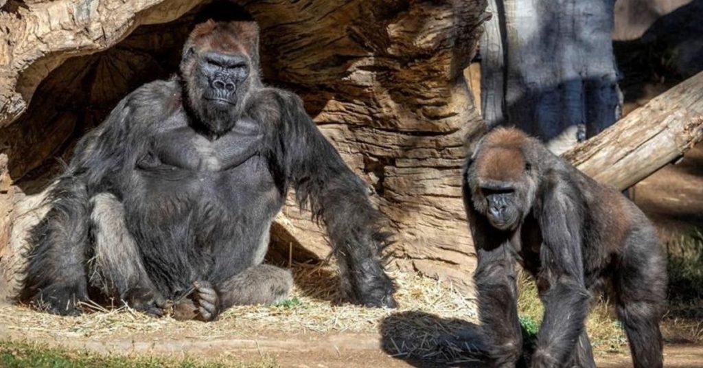 gorilas contagiados de COVID-19 en un zoológico de EE.UU.