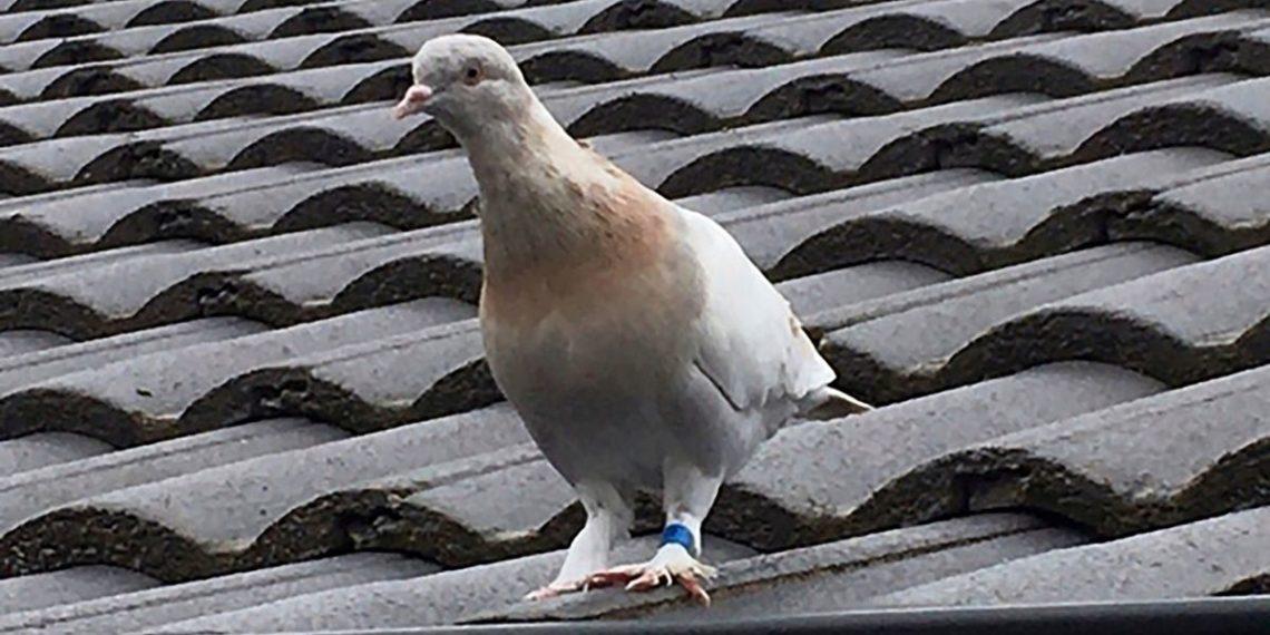 paloma mensajera viaja de Estados Unidos hasta Australia