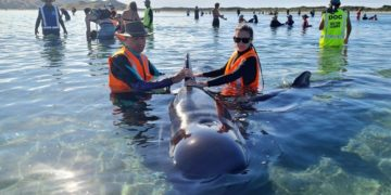 ballenas piloto varadas en Nueva Zelanda