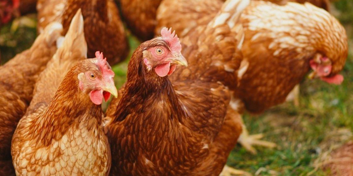 cepa H5N8 de gripe aviar en Rusia