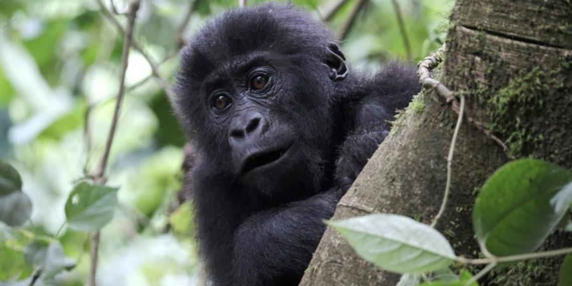 Los expertos ha advertido que los gorilas podrían estar expuestos al COVID-19. Foto: EFE
