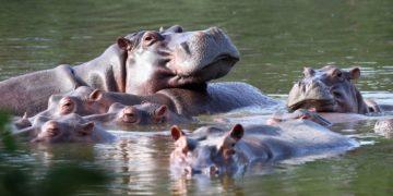 Los hipopótamos de Pablo Escobar en Colombia