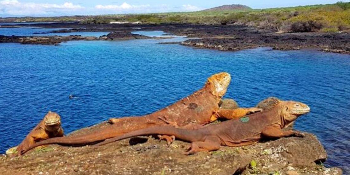 iguanas en las islas galápagos