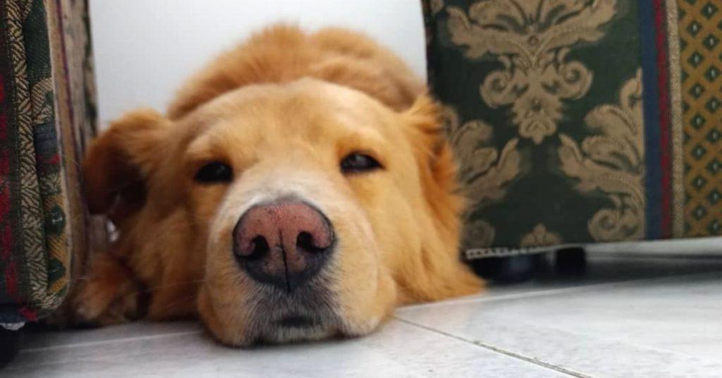 cirugía de marcapasos en el corazón de un perro