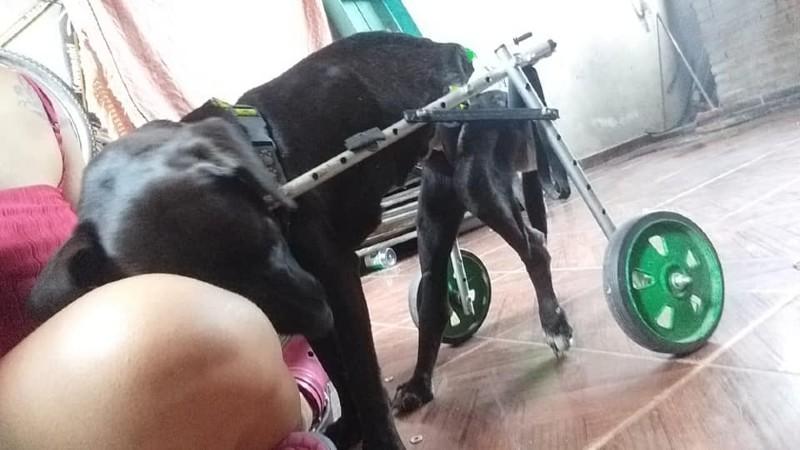 Insólito caso en Argentina: le robaron el carro a perrita discapacitada