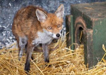 bar se convierte en veterinaria para animales salvajes