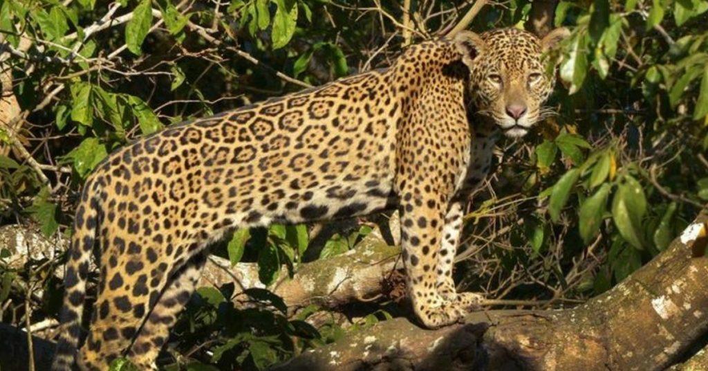 jaguar en latinoamérica