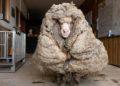 Baarack, la oveja a la que le quitaron 35 kilos de lana