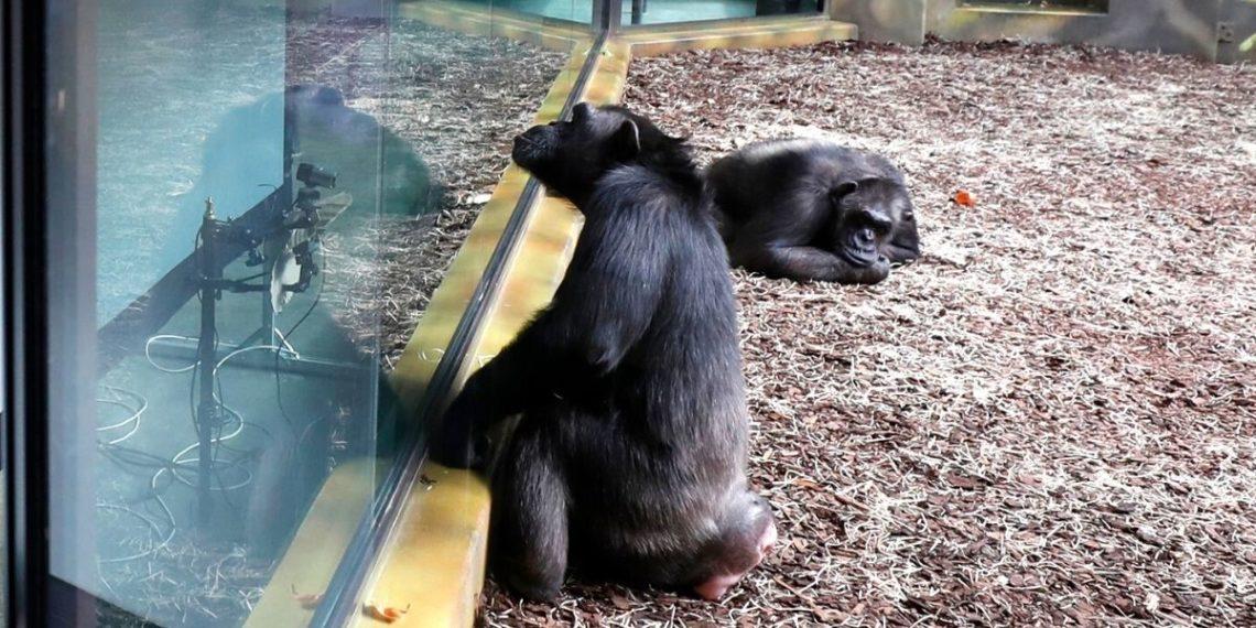 chimpancés se comunican por Zoom en zoológicos de Republica Checa