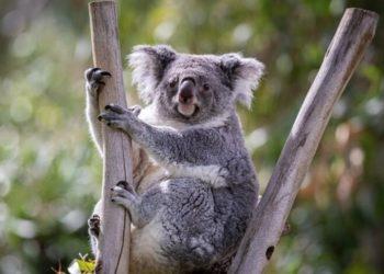 """Científicos quieren crear un """"súper koala"""" que sea más resistente para salvarlo de la extinción"""