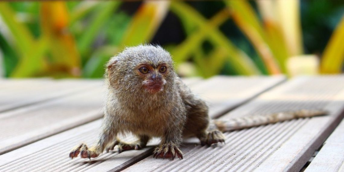 Un mono loris lento pigmeo nació