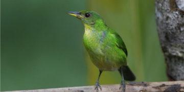 pájaro en peligro de extinción pierde su canto