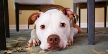 Han sido responsables del 66% de los ataques fatales, pero defensores de los animales aseguran que no hay malos perros, sino dueños negligentes.