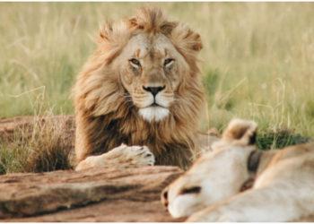 leones - zoológico