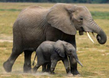 el elefante de selva africano ha entrado en peligro de extinción