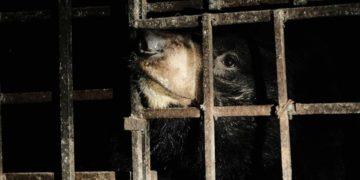rescatan osos en Vietnam