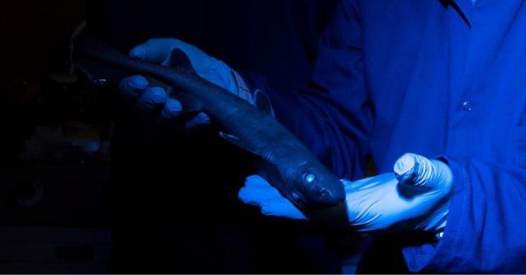 Hallan tiburones luminosos en las profundidades del océano en Nueva Zelanda.