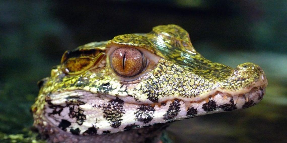 cocodrilo vivo en caja de domicilio