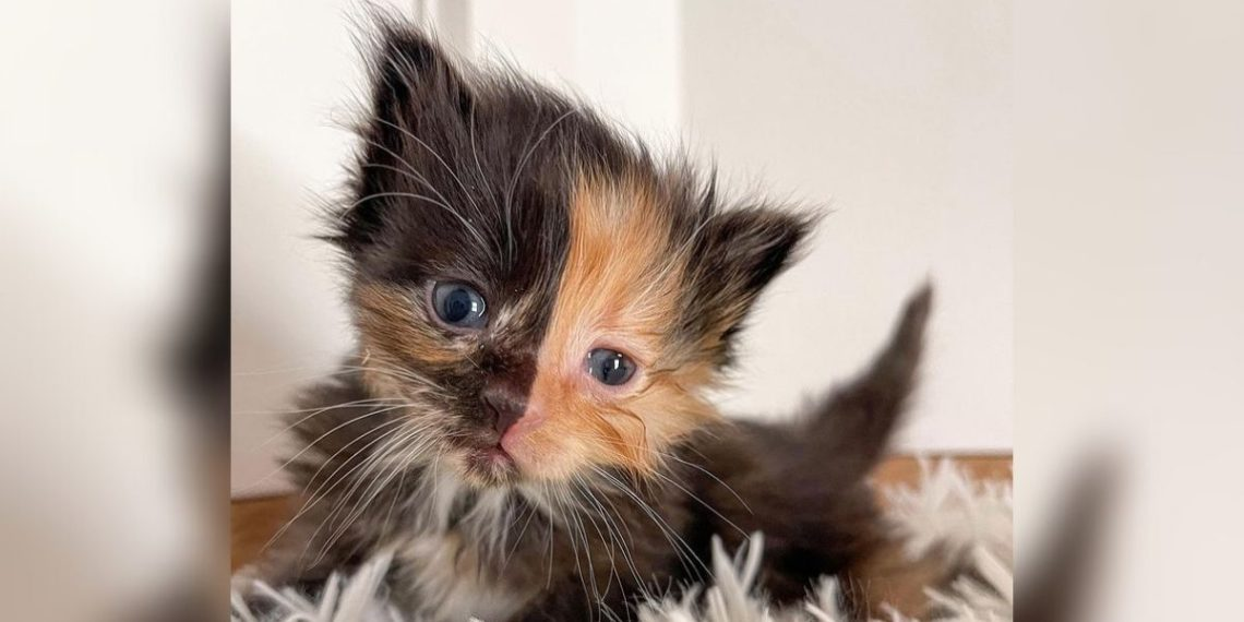 gato de dos caras rescatado