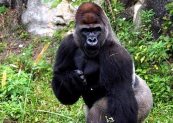 gorilas de montaña y los golpes de pecho