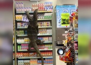 lagarto entra en supermercado