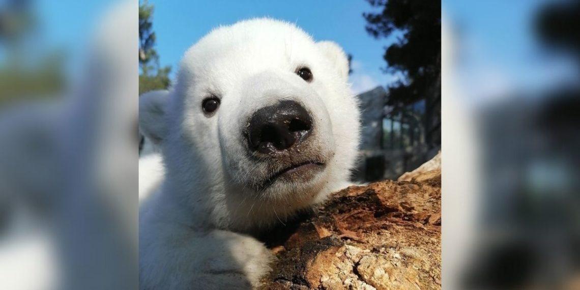 mineros adoptan osa polar en el Ártico