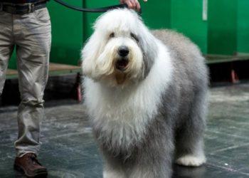 el perro pastor inglés en peligro de extinción en el Reino Unido