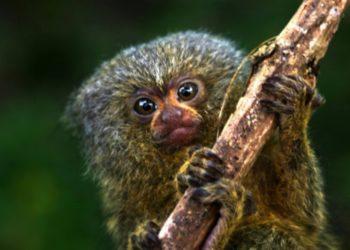 primate más pequeño del mundo en el Amazonas