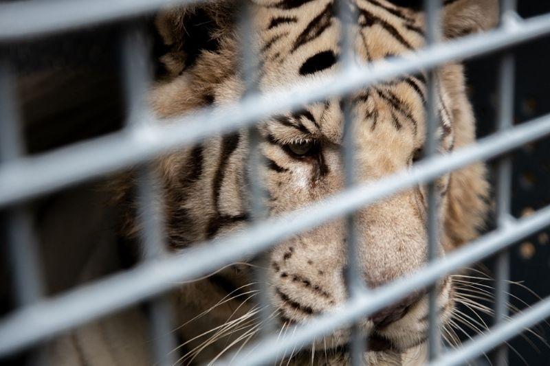 Traslado de dos enormes tigres blancos a santuario en EE.UU.