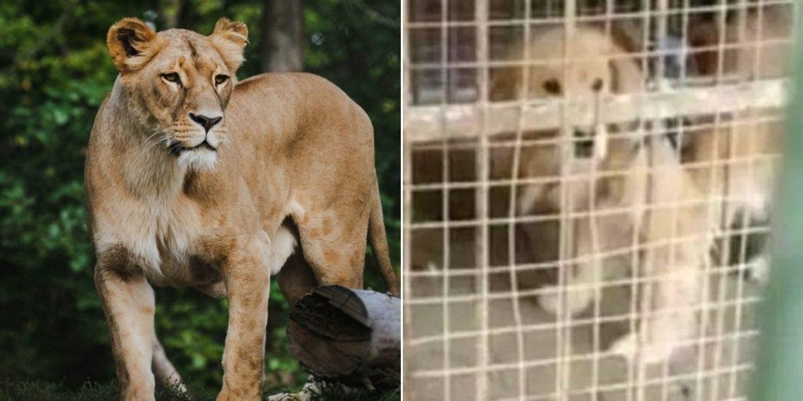 Zoológico en China hace pasar un perro golden retriever como un león africano
