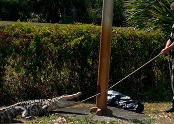 capturan caimán que perseguía clientes de un restaurante en Estados Unidos