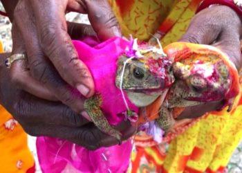 Casan a dos ranas en India para complacer al Dios de la lluvia