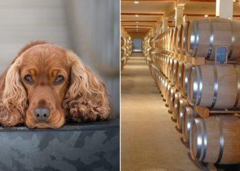 """Contratan a un perro para """"inspeccionar"""" fabricación de whisky en Escocia"""