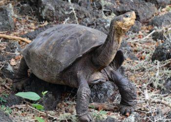 Hallan tortuga que se creía extinta hace 100 años en las Islas Galápagos