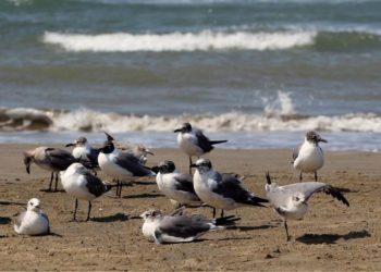 Las aves marinas se están reproduciendo menos debido al cambio climático