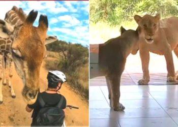 Los sorprendentes encuentros de personas con animales salvajes