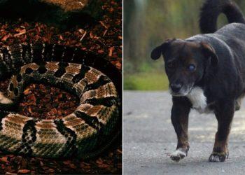 escatan a perro que tuvo que convivir con una serpiente venenosa