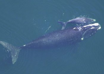 "Graban a dos ballenas en peligro de extinción ""abrazándose"" en el océano Atlántico"
