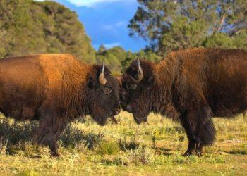cacería de bisontes en Estados Unidos