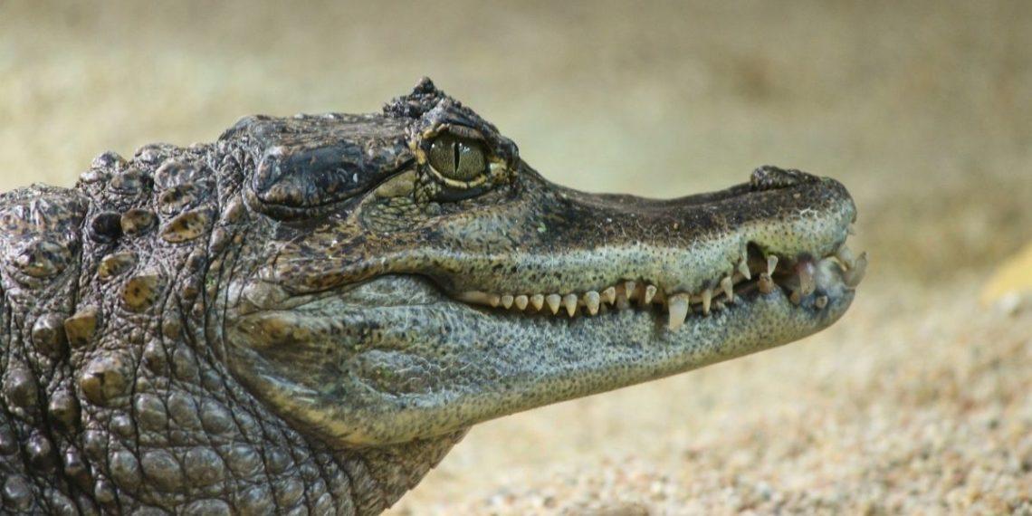 caimán en Florida