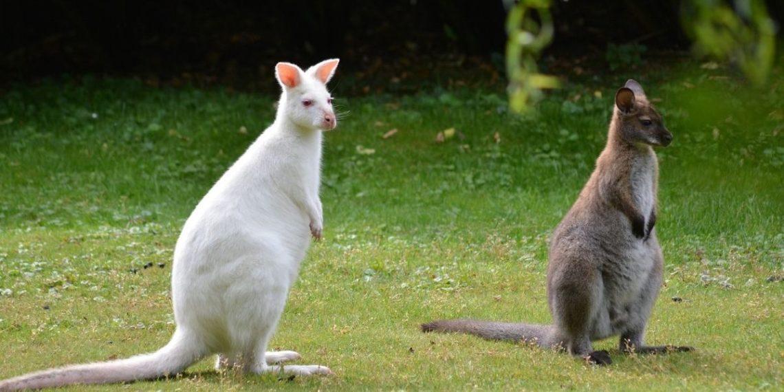 canguro albina de zoológico de Rusia
