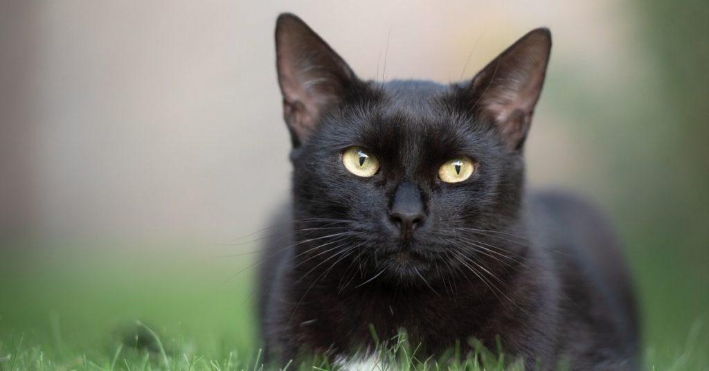 gato excursionista Simón