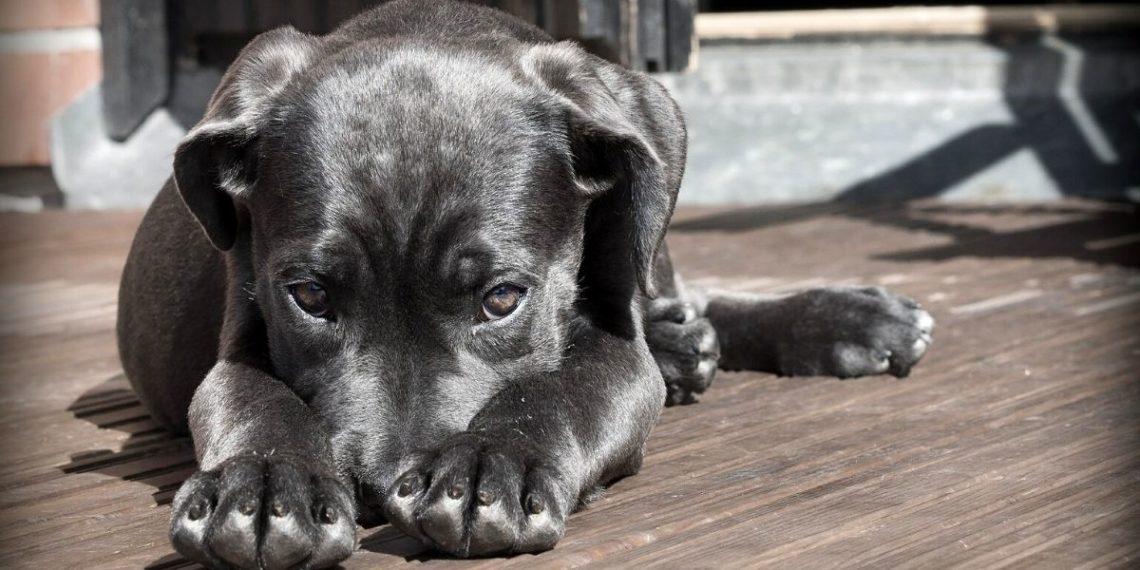 as personas pueden trasladarle su nivel de estrés a sus perros