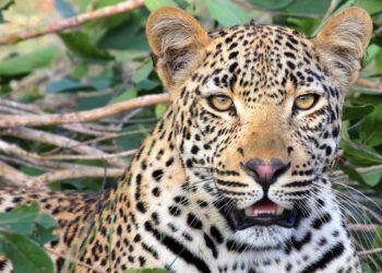 leopardos se escapan de un parque en China