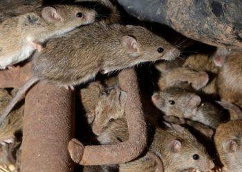 Gran plaga de ratones azota con fuerza a Australia
