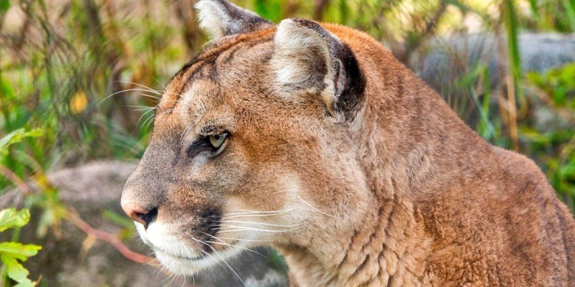 Puma persigue durante cinco minutos a un hombre en un bosque de EE.UU.