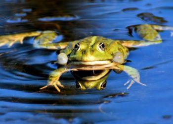 Descubren una impresionante rana que tiene el tamaño de un bebé humano. Foto: Pixabay