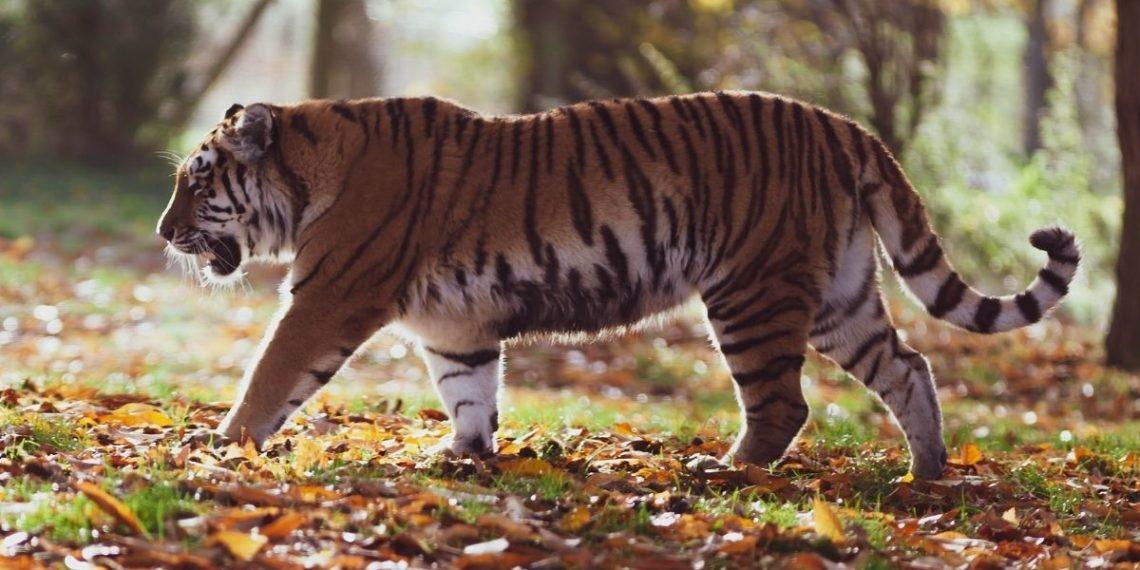 Descubren a un tigre deambulando por el jardín de una zona residencial en EE.UU.