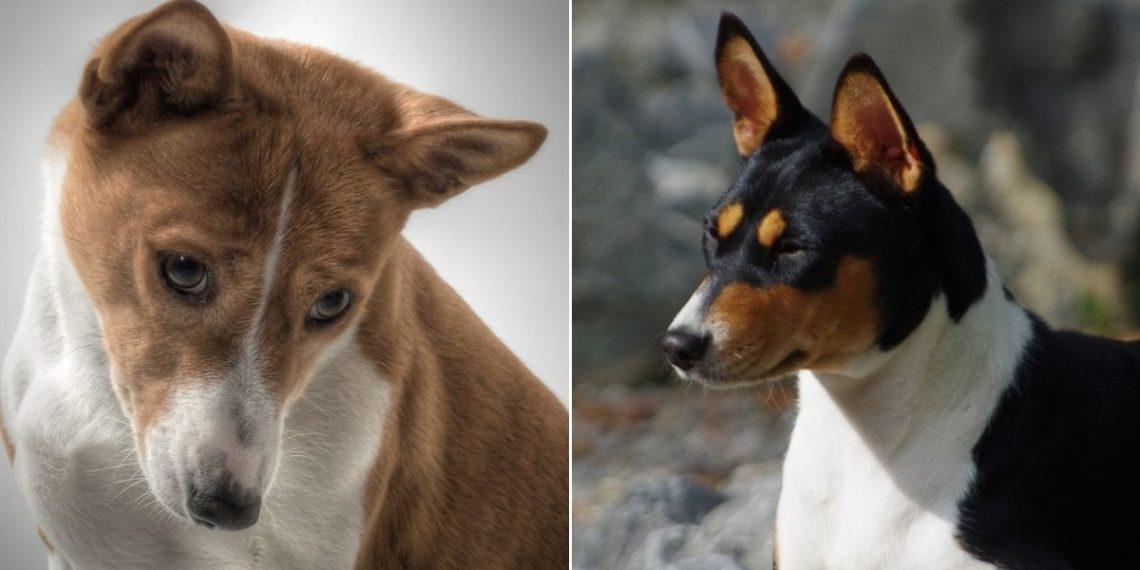Basenji es la única raza de perro que no ladra en el mundo